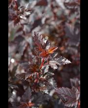 Tiny Wine® purppuraheisiangervo, Physocarpus opulifolius 'SMPOTW' Tiny Wine®, At 3 L