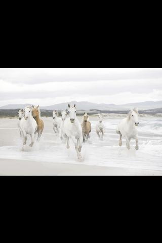 Studio Decor valokuvatapetti 8-986 White Horses 368x254cm