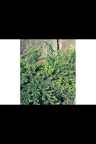 P-Plant kääpiökataja 'Repanda' 25-30cm astiataimi 19cm ruukussa