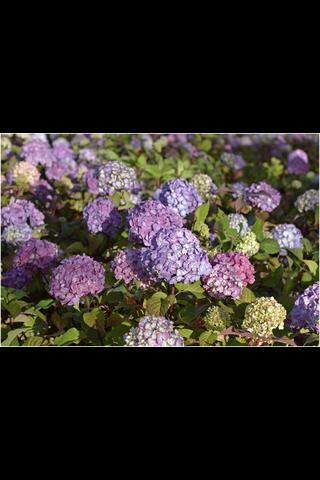 Puutarha Tahvoset jalohortensia 'Bloom Star' astiataimi 3l ruukussa