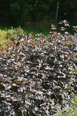 Puutarha Tahvoset purppuralännenheisiangervo 'Diabolo' astiataimi 3l ruukussa