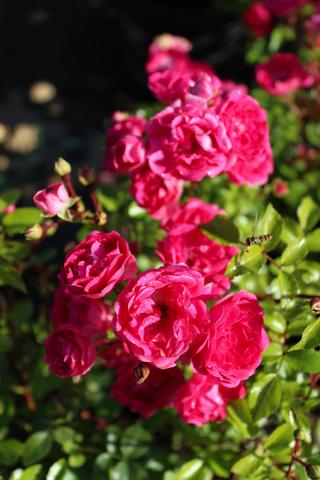 Puutarha Tahvoset Easy Elegance ruusu 'Little Mischief' astiataimi 3l ruukussa