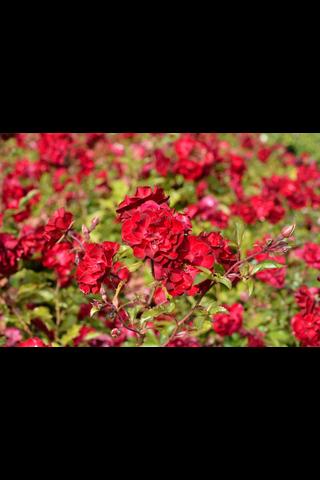 Puutarha Tahvoset ruusu 'Mystic Fairy' astiataimi 3l ruukussa