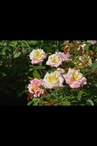 Puutarha Tahvoset Easy Elegance ruusu 'Music Box' astiataimi 3l ruukussa