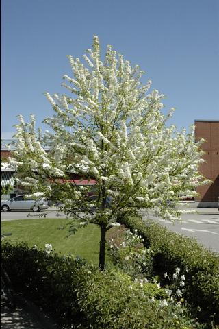 Puutarha Tahvoset pilvikirsikka, 150-250, astiataimi
