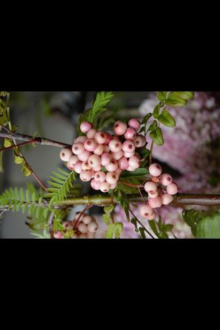 Puutarha Tahvoset arnoldinpihlaja 'Kirsten Pink', 150-250, astiataimi