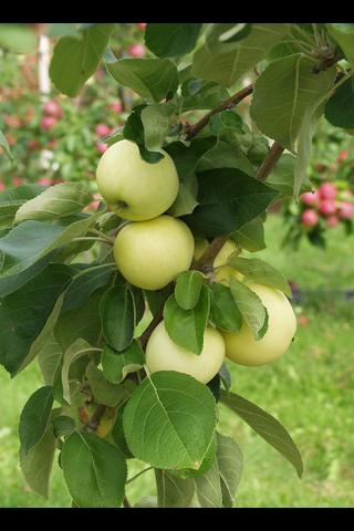 Puutarha Tahvoset omenapuu 'Valkeakuulas' astiataimi 7,5l ruukussa