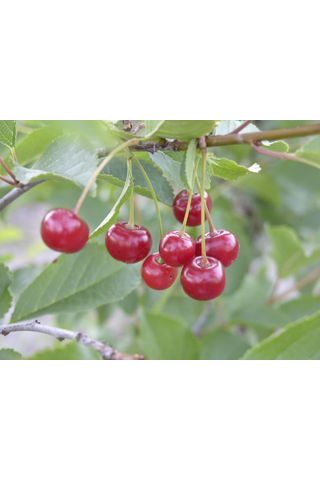 Puutarha Tahvoset kirsikka 'Sikkolankirsikka' astiataimi 7l ruukussa