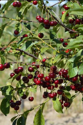 Puutarha Tahvoset kirsikka 'Suklaakirsikka' astiataimi 7l ruukussa
