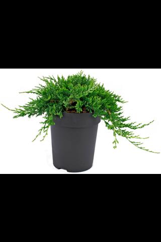 P-Plant sinilaakakataja 'Wiltonii' 20-30cm astiataimi 15cm ruukussa