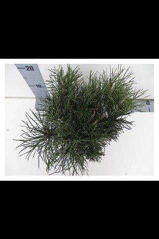 P-Plant vuorimänty 20-25cm astiataimi 15cm ruukussa