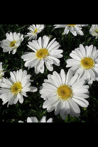 Satakunnan Taimitukku päivänkakkara 'Edith' Leucanthemum