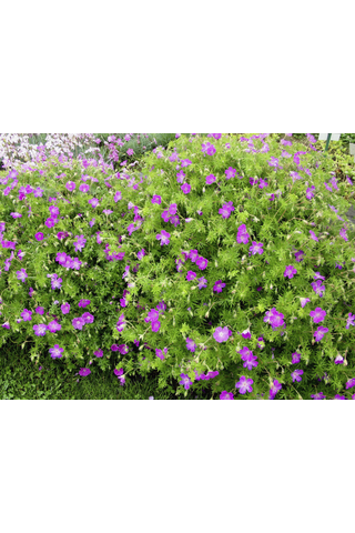 Satakunnan Taimitukku verikurjenpolvi Geranium sanguineum