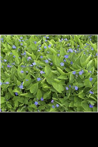 Satakunnan Taimitukku kevätkaihonkukka Omphalodes verna