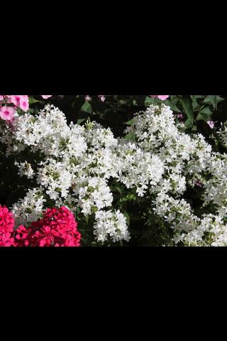 Satakunnan Taimitukku syysleimu 'Early White' Phlox paniculata