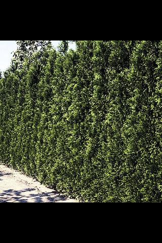 P-Plant kartiotuija 120-140cm paakkutaimi
