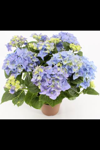 Hortensia värimix
